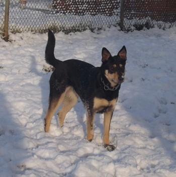 Minni, Lapplaendischer Rentierhund 2