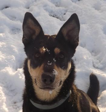 Minni, Lapplaendischer Rentierhund, Kopf