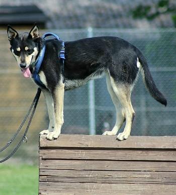 Minni, Lapplaendischer Rentierhund, auf Bretterwand