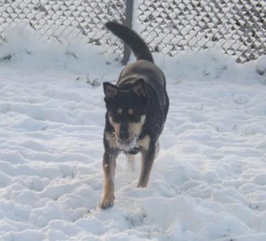 Minni, Lapplaendischer Rentierhund, mit Ball