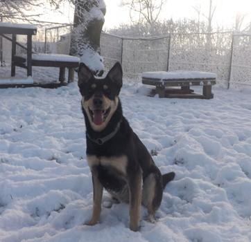 Minni, Lapplaendischer Rentierhund, sitzend 2