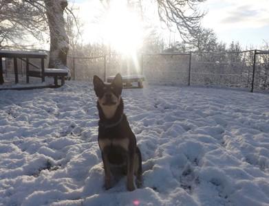 Minni, Lapplaendischer Rentierhund, sitzend