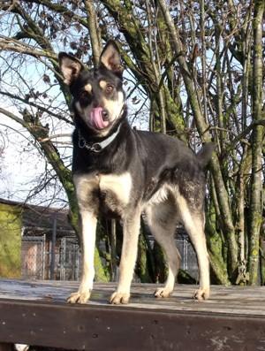 Minni, Schaeferhundmix, auf Podest, leckt sich
