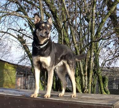 Minni, Schaeferhundmix, auf Podest