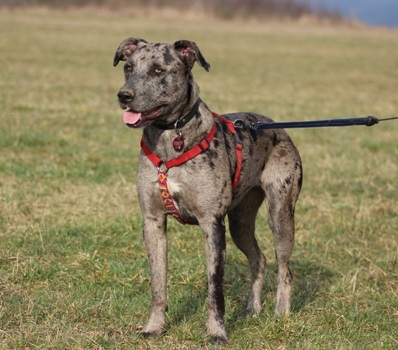 Kopie von Nuria, Catahoula Leopard Dog-Mix