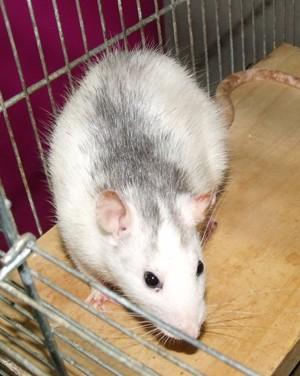 Mimi und Mona, Ratten 2