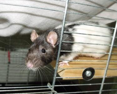 Mimi und Mona, Ratten 3