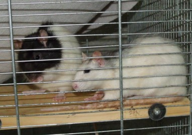Mimi und Mona, Ratten 4