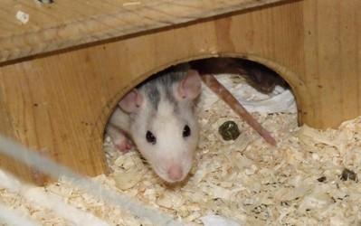 Mimi und Mona, Ratten 5