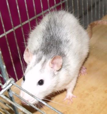 Mimi und Mona, Ratten