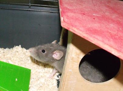 Schnick, Schnack und Schnuck, Ratten 2