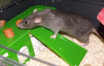 Schnick, Schnack und Schnuck, Ratten 4