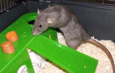 Schnick, Schnack und Schnuck, Ratten