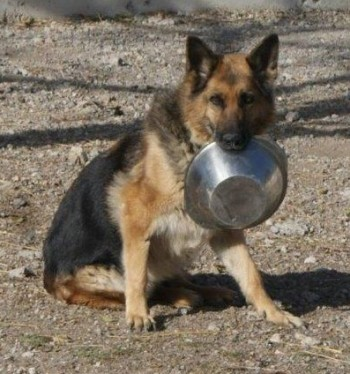 Nuca, Dt. Schaeferhund, sitzend mit Napf