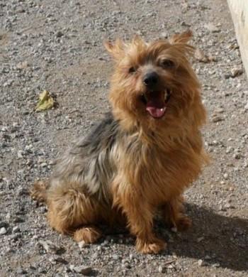Bosco, Yorkshire Terrier, sitzend