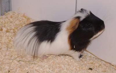Ludwig, Meerschweinchen 2